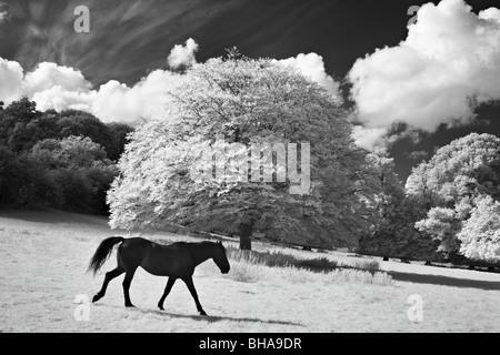 horses at Minterne Magna, Dorset, England, UK - Stock Photo