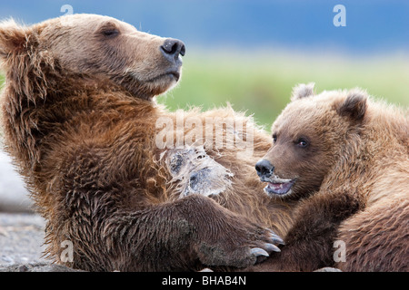 Brown bear sow nursing her spring cub in Hallo Bay, Katmai National Park, Southwest Alaska, Summer