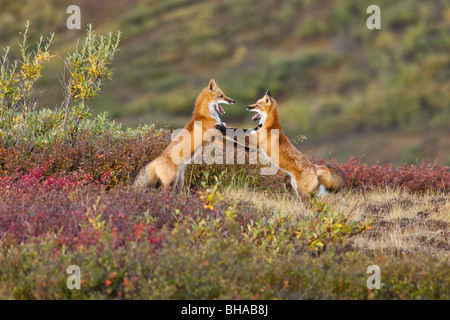 Two foxes near the top of Polychrome Pass in Denali National Park play with each other, Interior Alaska, Autumn - Stock Photo
