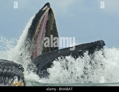 Humpback whale bubble net feeding off Admiralty Island during Summer in Southeast Alaska - Stock Photo