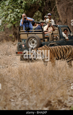 Foreigners and Indians Tourist photographing a male Tiger in the forest of Ranthambore Tiger Reserve, India. ( Panthera - Stock Photo