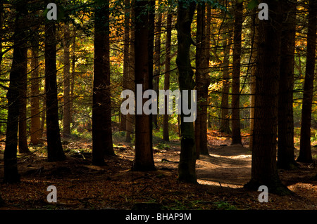 Sunlight penetrating through trees in a thick woodland - Stock Photo