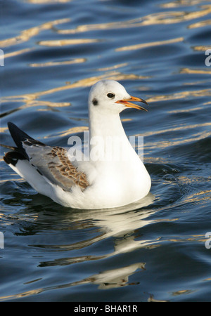 Black Headed Gull, Chroicocephalus ridibundus (Larus ridibundus), Laridae - Stock Photo