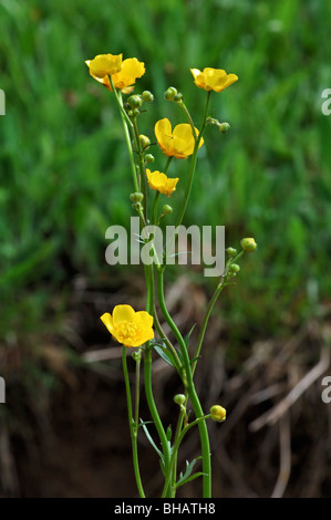 Meadow buttercup / Tall buttercup (Ranunculus acris), Germany - Stock Photo