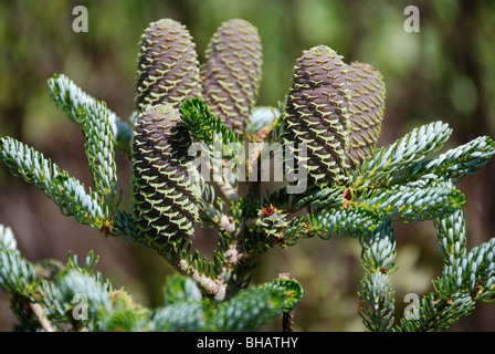 Unusual foliage and symmetrical pattern of Abies koreana or Korean Fir tree - Stock Photo