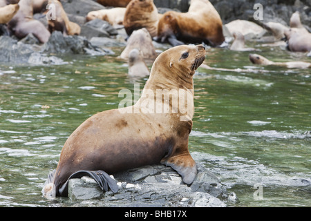 Steller Sea Lions resting in a rookery on Sail Island in Frederick Sound in the Inside Passage of Southeast Alaska, - Stock Photo