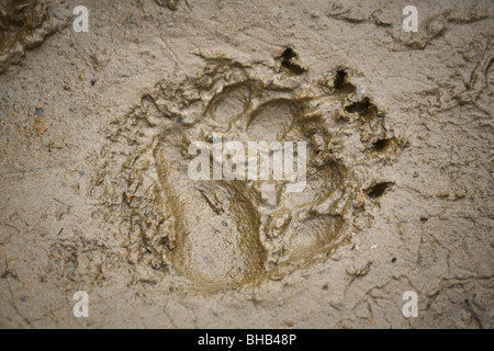 Brown bear track in the mud on the lakeshore of Big River Lakes in Southcentral Alaska during Summer - Stock Photo