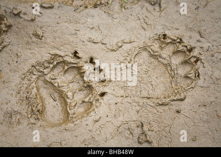 Brown bear tracks in the mud on the lakeshore of Big River Lakes in Southcentral Alaska during Summer - Stock Photo