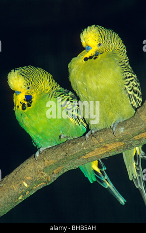 a pair of budgies sitting in a tree - Stock Photo