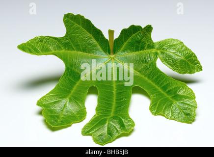 fig leaf - Stock Photo