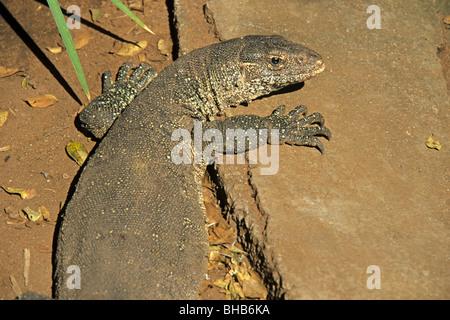 iguana at a crocodile farm in Victoria Falls, Zimbabwe - Stock Photo
