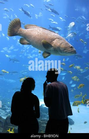 Giant Grouper, Georgia Aquarium, Atlanta, Georgia, USA - Stock Photo
