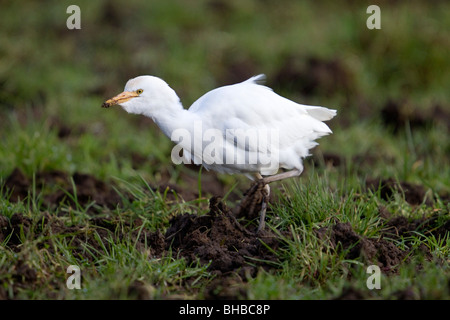 Cattle Egret; Bubulcus ibis; in cattle field; west Cornwall - Stock Photo