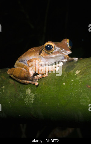 Madagascar Tree Frog (Boophis madagascariensis) Marojejy National Park, Madagascar - Stock Photo