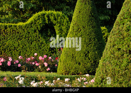 common yew taxus baccata with conical shape stock photo. Black Bedroom Furniture Sets. Home Design Ideas