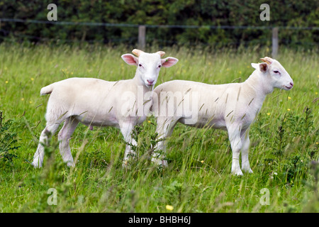 Two Wiltshire horn lambs standing in long grass in field - Stock Photo