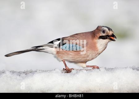 Jay; Garrulus glansarius; in snow with peanut in beak - Stock Photo