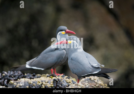 Inca Terns (Larosterna inca) WILD, Pucusana, Peru - Stock Photo
