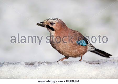 Jay; Garrulus glansarius; in snow - Stock Photo