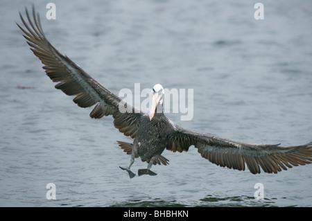 Peruvian Pelican (Pelecanus thagus) Landing in harbor, Pucusana, Peru - Stock Photo