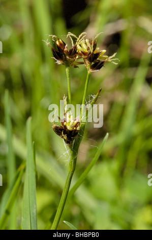 Field Wood-rush, luzula campestris - Stock Photo