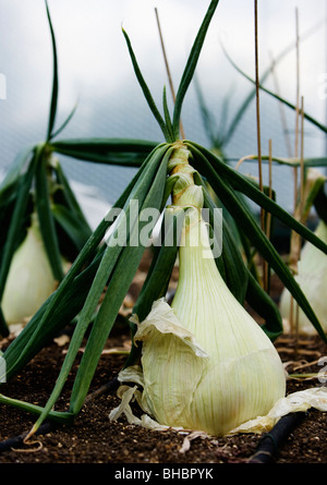 A patch of white onions - Stock Photo