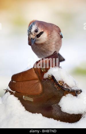 Jay; Garrulus glansarius; in snow on old boot - Stock Photo