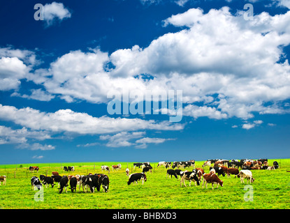 Cows grazing in a green pasture on sustainable small scale farm - Stock Photo