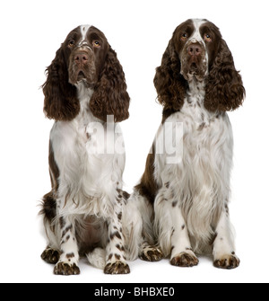 Two English Springer Spaniels, 1 and 2 years old, sitting in front of white background - Stock Photo