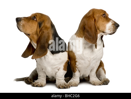 Two sulking Basset Hounds sitting in front of white background - Stock Photo
