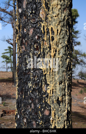 Resin on trunk of fire damaged Canary pine tree (Pinus Canariensis) on in The Canary Islands - Stock Photo