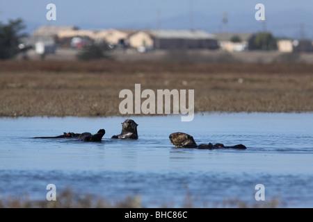 sea otter Elkhorn Slough california habitat loss - Stock Photo