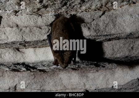 big brown bat hibernating cave kentucky - Stock Photo