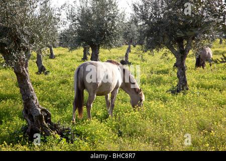 Pregnant mare from the Alter Real bred (Lusitano Horse), in Coudelaria de Alter. Alter do Chão, Portalegre, Portugal. - Stock Photo