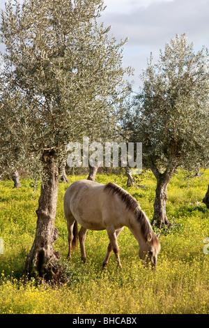 Purebred pregnant mare from the Alter Real bred - Lusitano Horse. Coudelaria de Alter. Alter do Chao, Portalegre, - Stock Photo