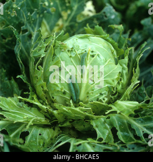 Small white butterfly (Pieris rapae) caterpillars on severely damaged cabbage (Brassica oleracea) - Stock Photo
