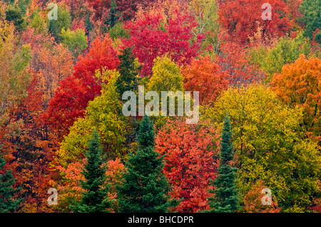 Autumn maple trees and Spruces on hillside, Elliot Lake, Ontario, Canada - Stock Photo