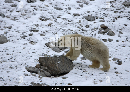 Polar Bear Ursus maritimus yearling cub standing on snow covered rocks with its front paws up on a rock - Stock Photo