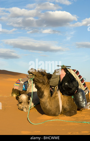 Camels resting in the Sahara Desert, Merzouga, Morocco. - Stock Photo