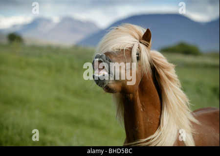 Icelandic Horse showing teeth, Iceland - Stock Photo