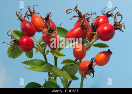 Dog Rose, Common Briar (Rosa canina), twigs with leaves and rose hip. - Stock Photo