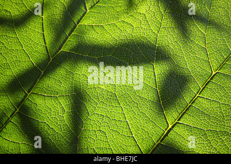 Leaf silhouette seen through Gunnera manicata (giant rhubarb) - Stock Photo