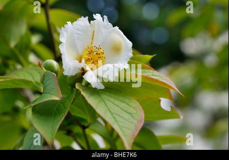 Japanese stewartia (Stewartia pseudocamellia) - Stock Photo