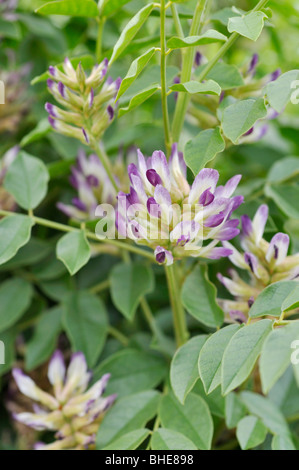 Licorice (Glycyrrhiza glabra) - Stock Photo