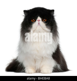 Persian cat, 10 months old, in front of a white background - Stock Photo