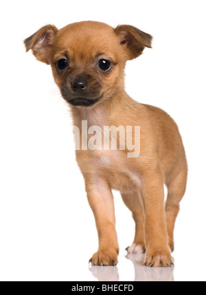 Crossbreed with a Shih tzu and a Yorkshire Terrier puppy, 2 months old, standing in front of white background - Stock Photo