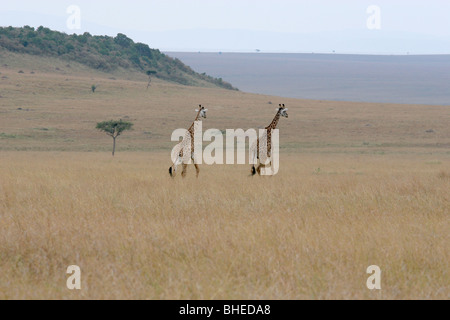 Masai Giraffe (Giraffa camelopardalis), in the Masai Mara National Reserve, Kenya. - Stock Photo