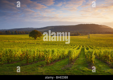 First light over Denbies Vineyard - Denbies Wine Estate - Stock Photo