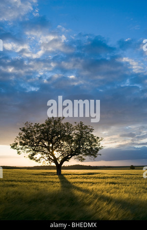 Tree in wheat field at sunset, Burgundy, France - Stock Photo