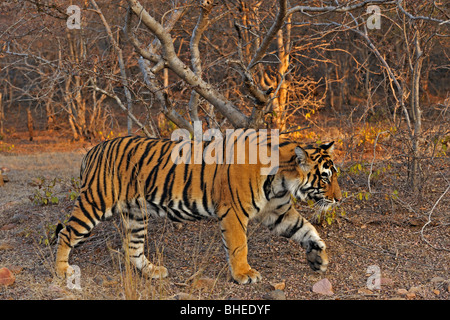 Tiger in the dry deciduous habitat of Ranthanbhore tiger reserve - Stock Photo